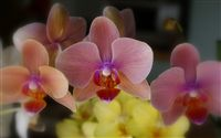 Phalaenopsis orchid wallpaper