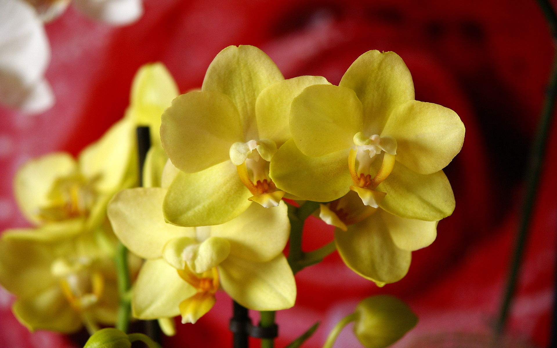 phalaenopsis orchid wallpapers pictures - photo #20