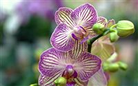 orchid wallpaper