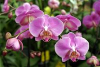 Pink Orchids&nbsp;