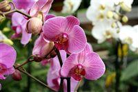 Pink orquídeas Doritaenopsis dulce
