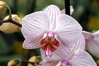 White pink striped Orchids close up