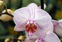 Rosa blanca rayada Orquídeas cerca