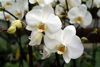 White Orchids close up