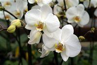 White Orquídeas cerca