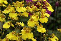 Amarillo Orquídeas