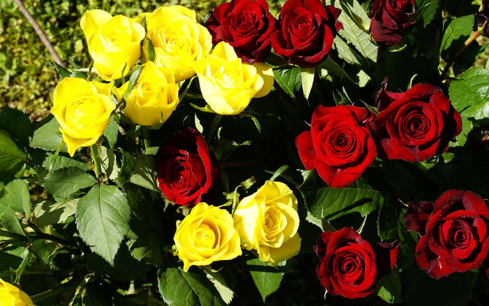 Roses red and yellow