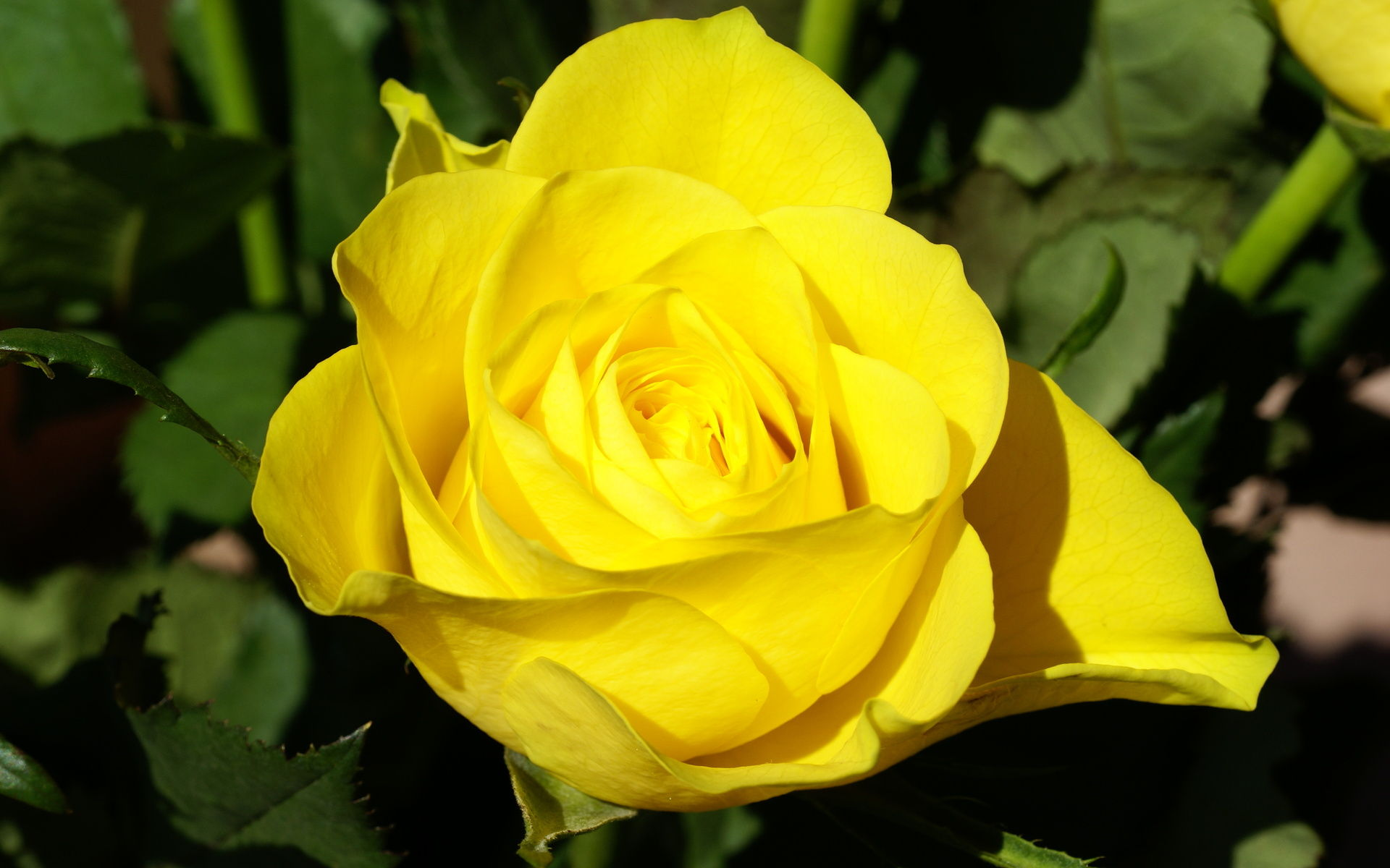 Yellow roses photo gallery 2