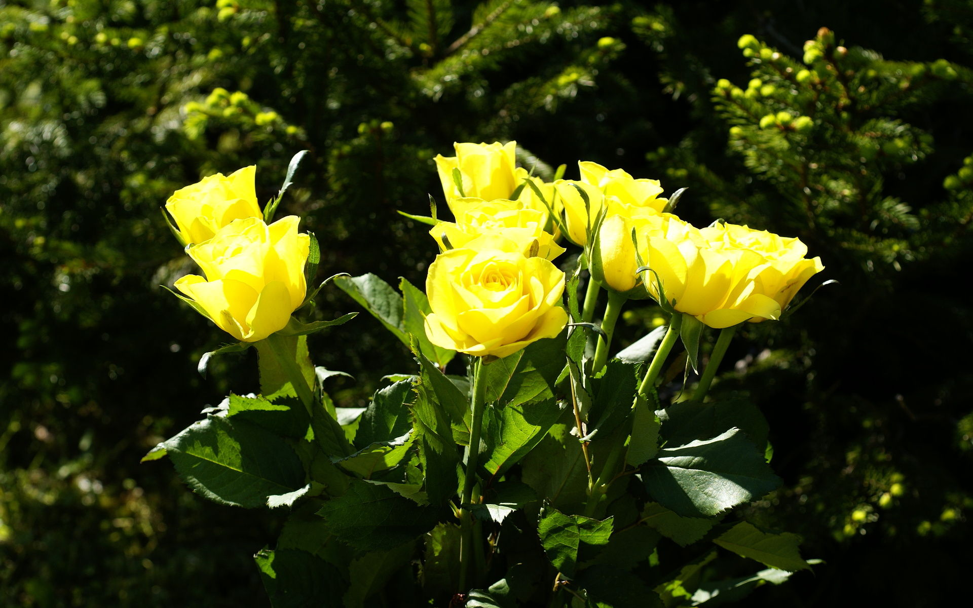 wallpaper of yellow roses - photo #36