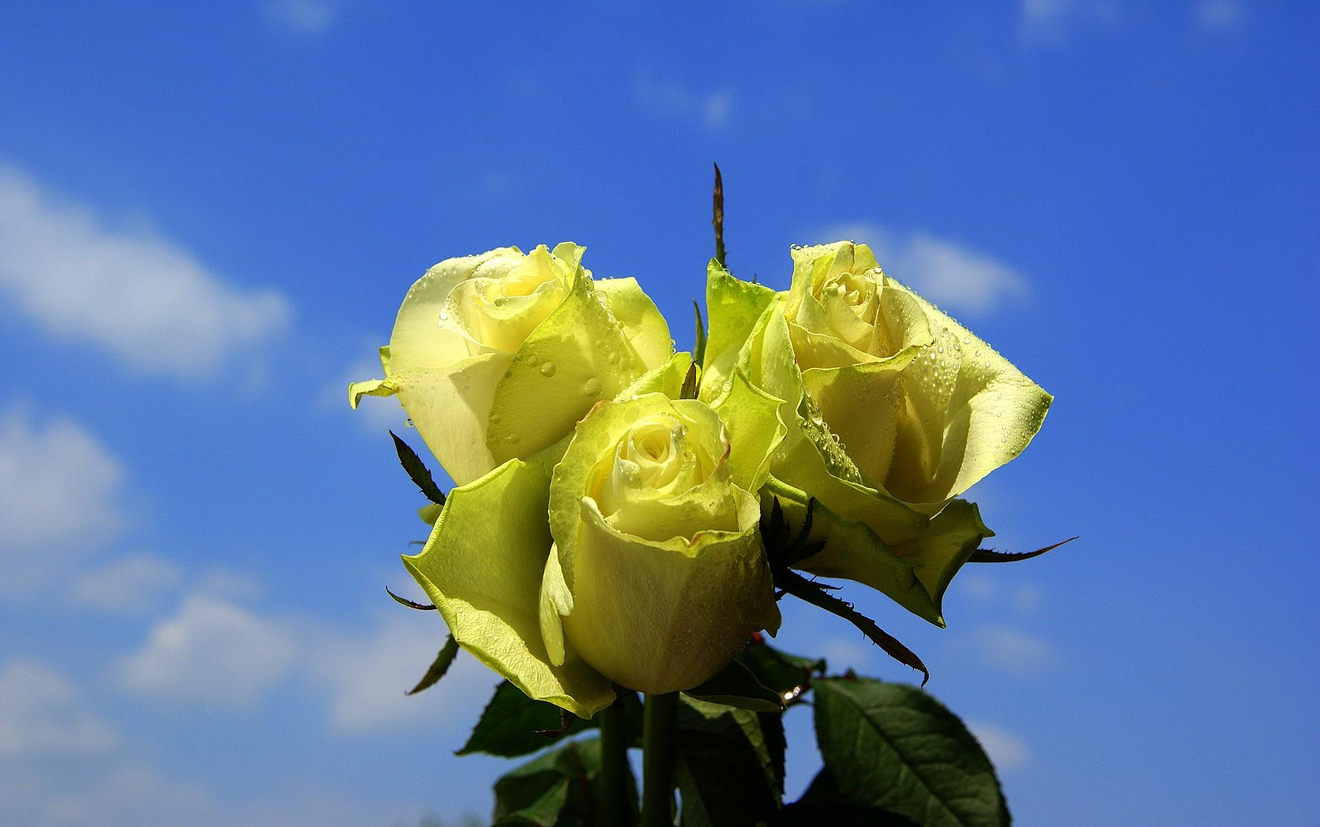 Light Green Roses sky with light green r...