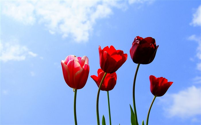 blue sky with tulips