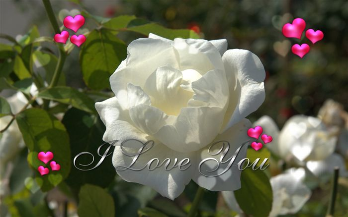 photo Love you ecard white rose