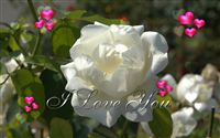 Love you ecard white rose