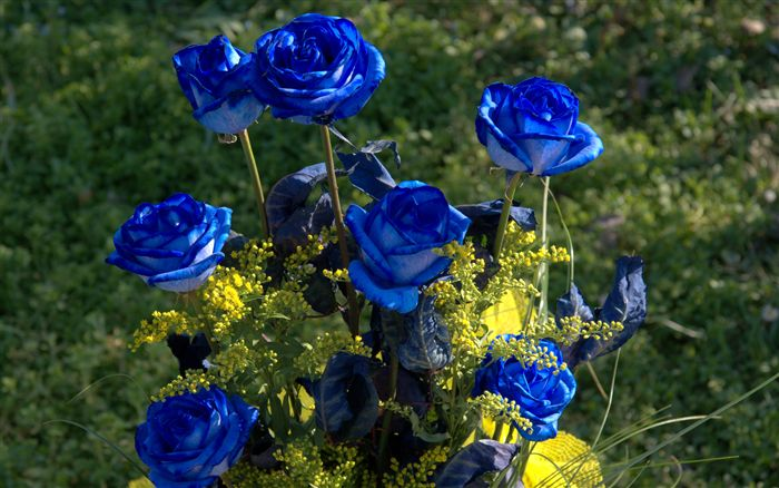 blue roses photos and wallpaper blue roses are made
