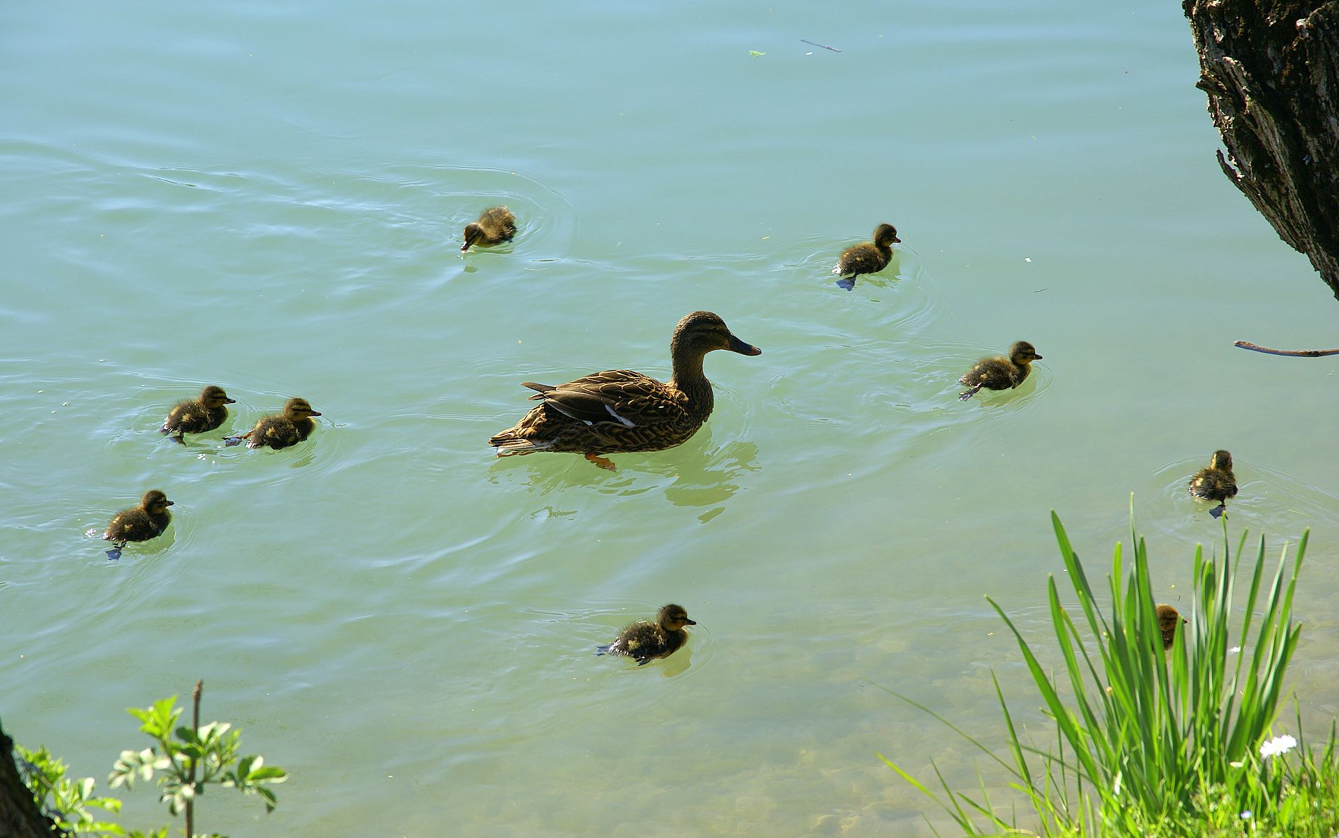 baby ducks and mother duck high resolution 16 10 1920x1200 wallpaper