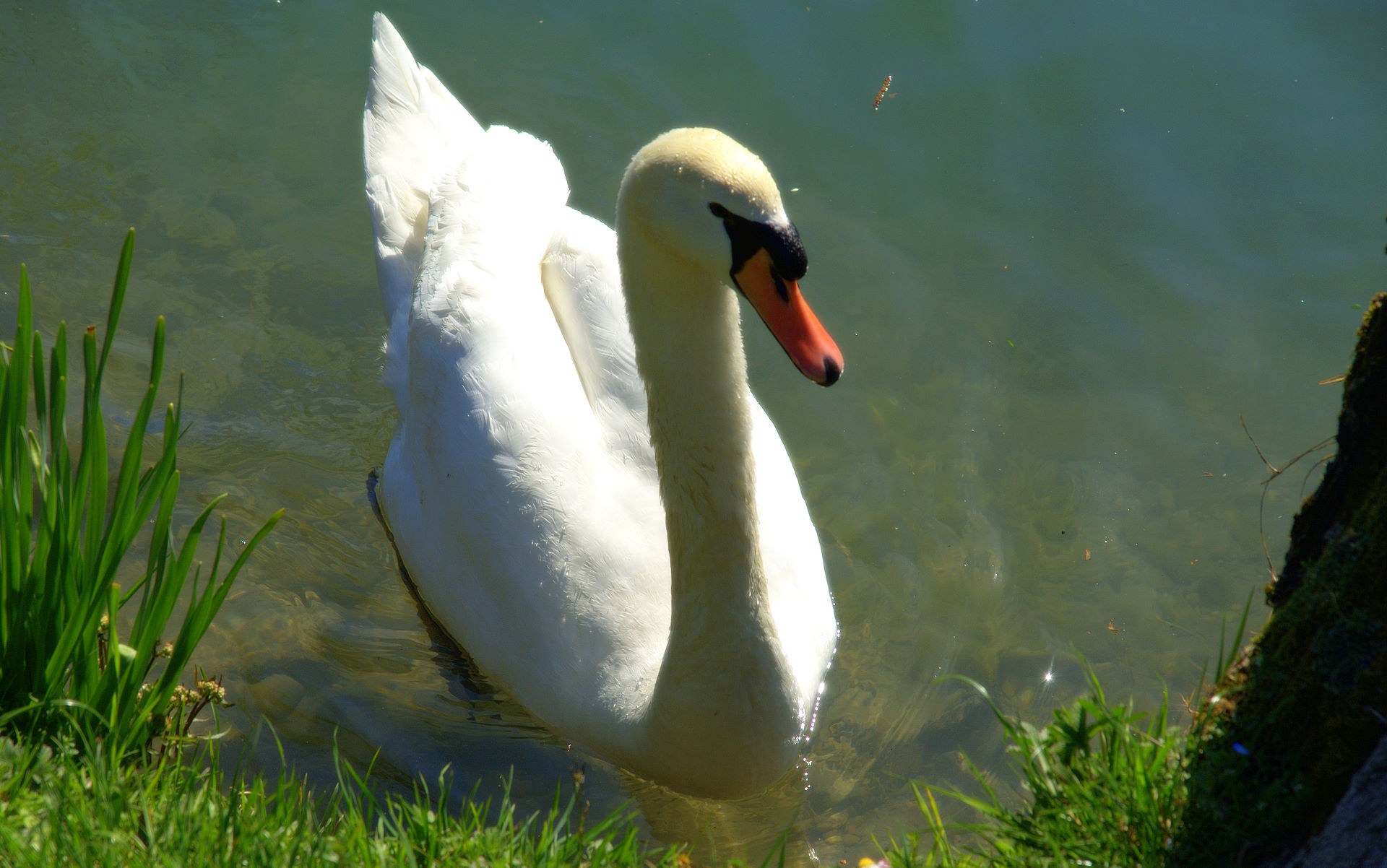 White Swan Wallpaper Cygnus