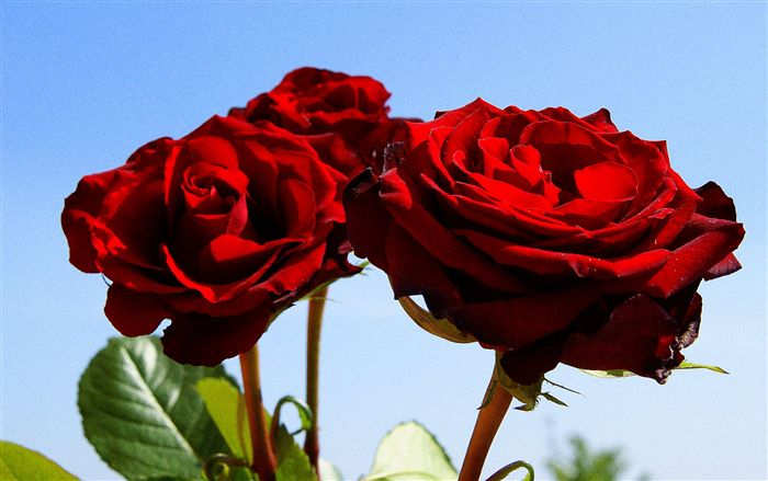 photo tre rose rosse sfondo