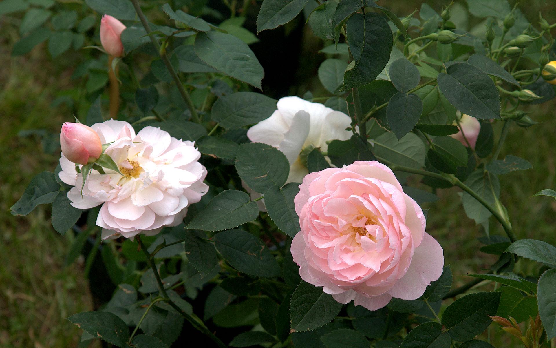 bella pianta di rosa