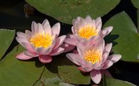 beautiful Water lilies wallpaper