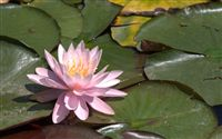 Most beautiful Water lily