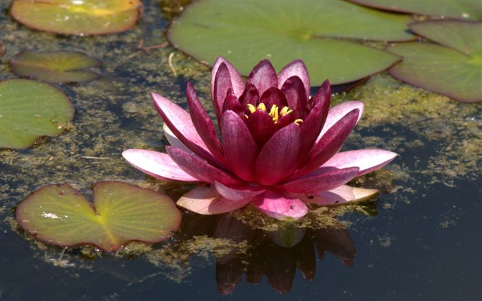photo dark pink water lily