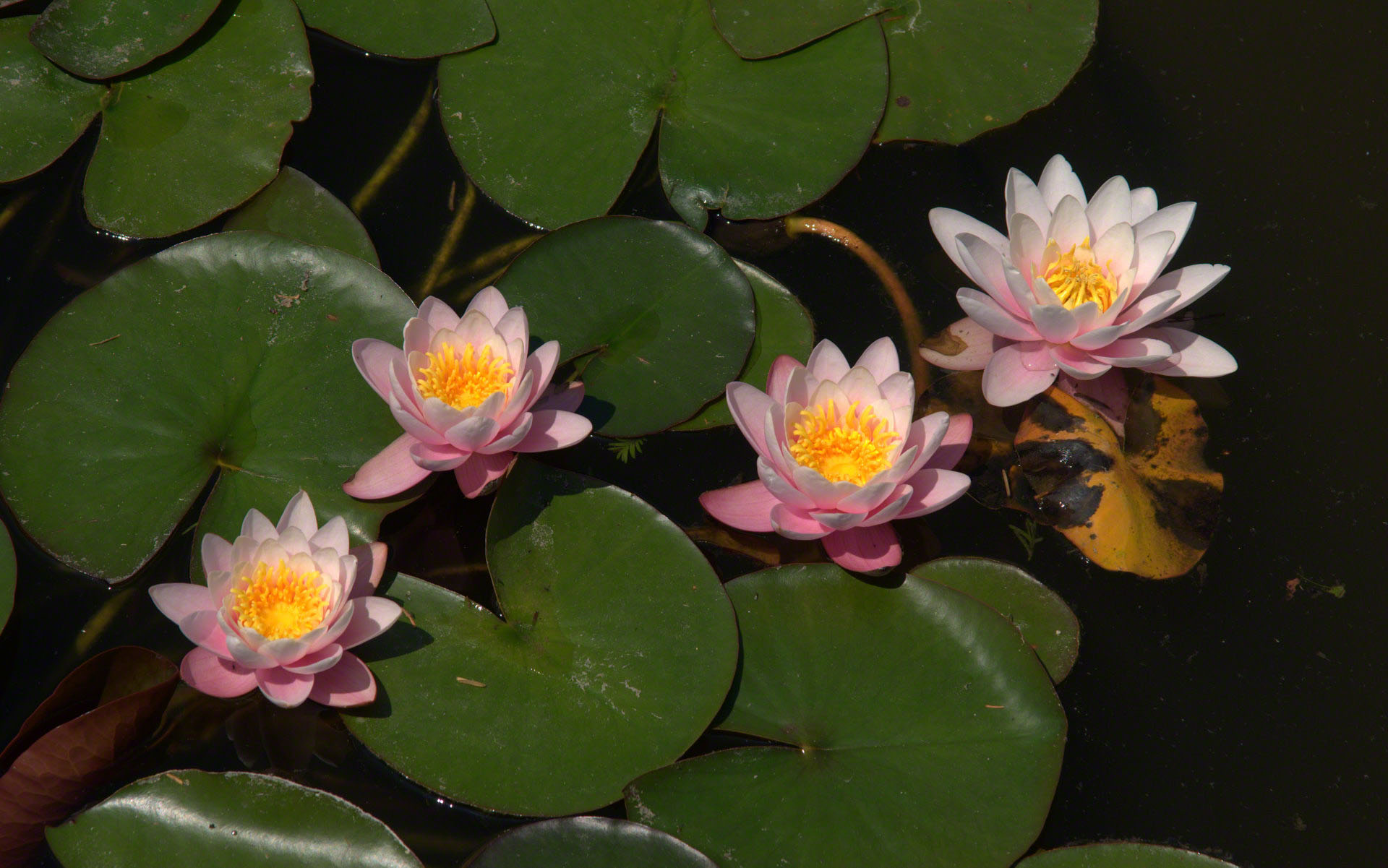 Water Lily | Natural Remedies &amp- Health