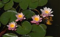 4 amazing water lilies