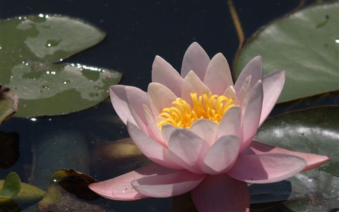 photo water lily