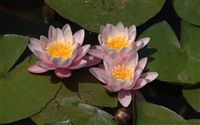 water lilies wallpaper
