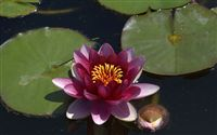 dark pink waterlily