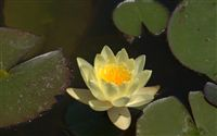 yellow Nymphaea alba water lily