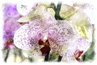 phalaenopsis watercolor picture