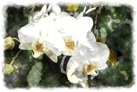 white phalaenopsis watercolor painting