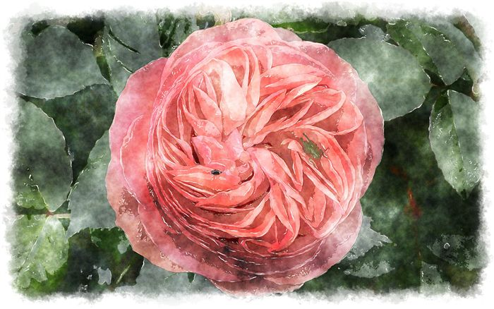 watercolor gallica rose
