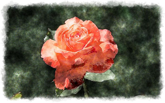 beautiful red rose watercolor painting