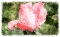 watercolor pink rosebud