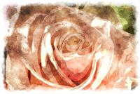 watercolor peach rose