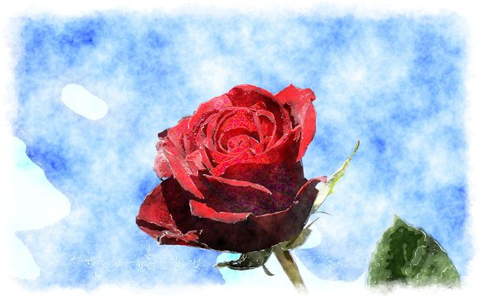 watercolor red rose