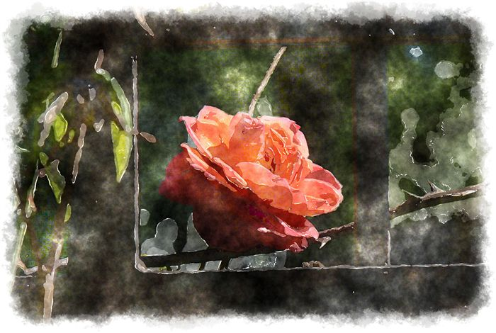 photo watercolor rose in a cage