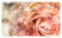 watercolor rose macro