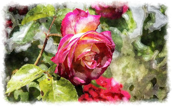 amazing rose watercolor