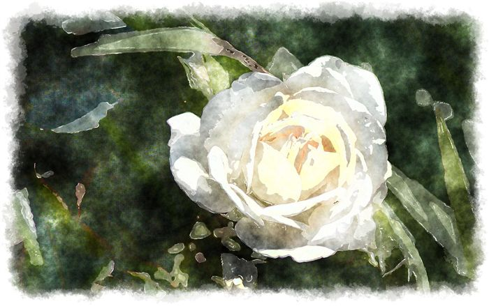 photo watercolor white rose