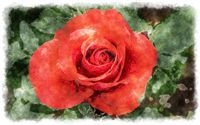 red rose watercolor
