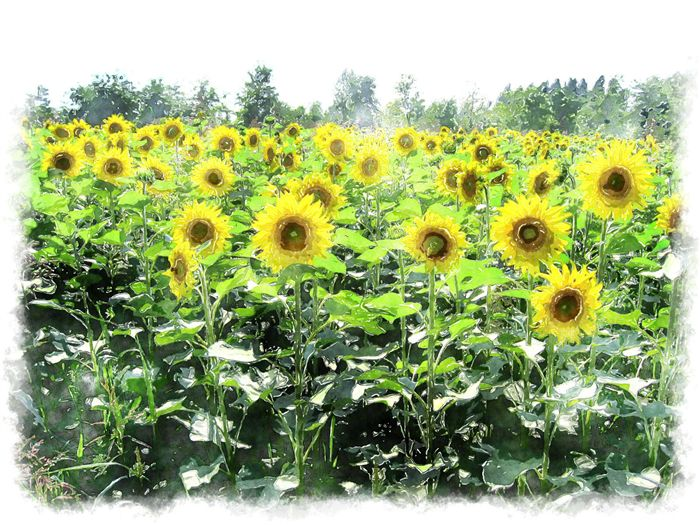 photo sunflower painting