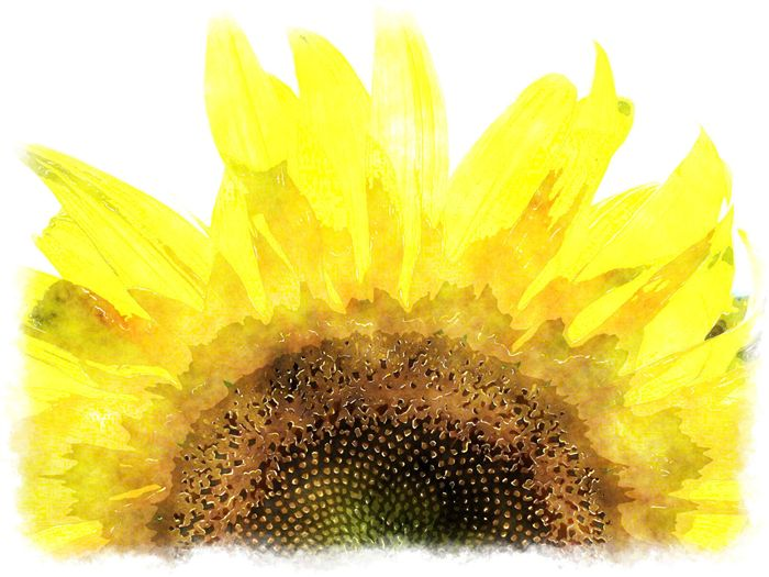 Watercolor Sunflower Paintings Sun Flower Picture