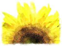 watercolor sunflower close up