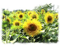Watercolor sunflower paintings, watercolor sun flower picture
