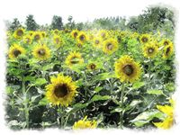 watercolor sunflower field