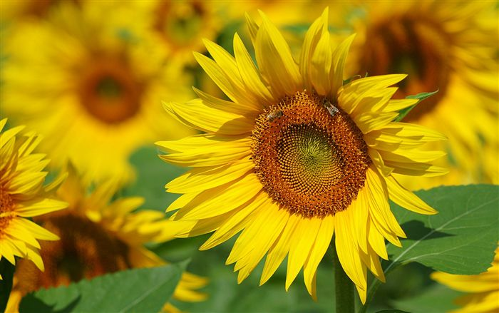 beautiful Sunflower