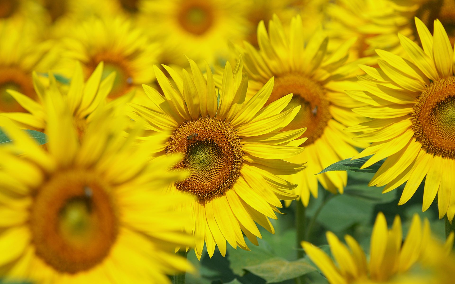 Wallpaper gratis Sunflower
